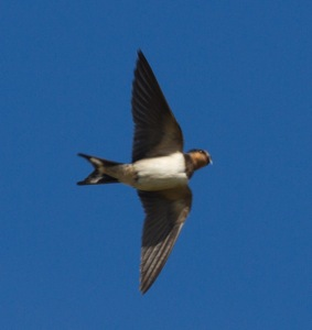 042 Swallow with Ant