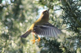 GOLDCREST HOVERING NOVEMBER 19 2013