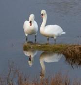 010 Pair of visiting Swans_edited-1