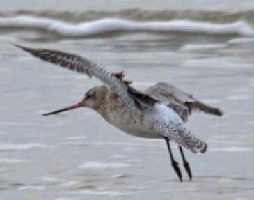 003 Bar-tailed Godwit in flight_edited-1