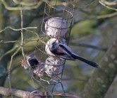 004 Long-tailed Tit and male Reed Bunting on fat balls_edited-1