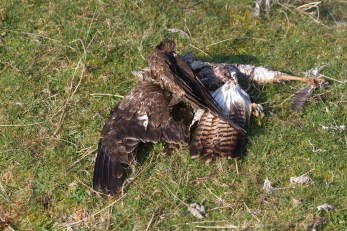 007 Dead Buzzard_edited-2