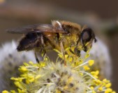025 Bee on Willow Pollen_edited-2