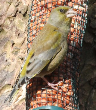 IMG_8585B GREENFINCH 25 MARCH