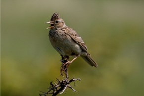 Skylark on gorse