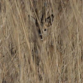 004 Roe Buck in long grass_edited-2