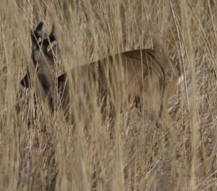 006 Roe Buck in long grass_edited-2