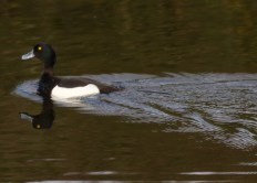 009 Male Tufted Duck_edited-2