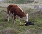 010 Calf being born 9_edited-2