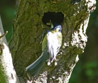 010 Great Tit entering nest_edited-2