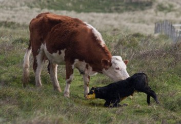 012 Calf being born 11_edited-2