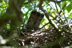 012 Sparrow Hawk on nest 2014_edited-2