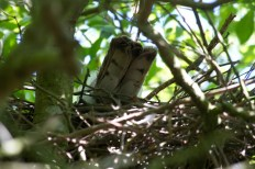 012 Sparrow Hawk on nest 2014_edited-2