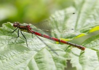 014 Large Red Damselfly_edited-2