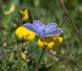 024 Female Common Blue_edited-2