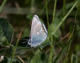039 Female Common Blue_edited-2