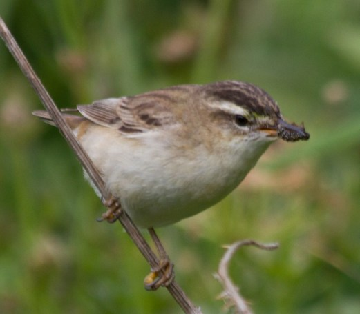 041 Sedge Warbler with caterpillar_edited-2