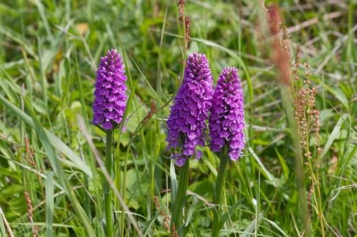 043 Three Marsh orchids_edited-2