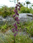 dark red helleborine