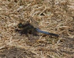 010 Black-tailed Skimmer_edited-2