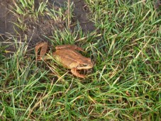P1010471 Frog on tip path edit