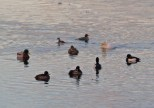 012 Duck mix Mallard Teal Tufted Little Grebe_edited-2