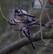 002 Long Tailed Tits on fat balls_edited-2