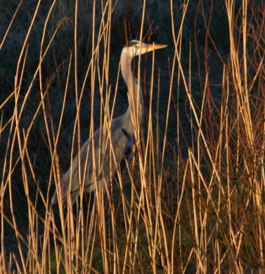 005 Camouflaged Heron_edited-2