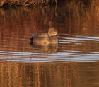 010 Male Gadwall_edited-2