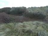 P1010522 Tree cutting Dune Restoration