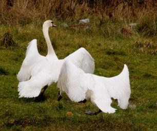 001 Swans in dispute_edited-2