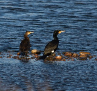 002 Two Cormorants_edited-2