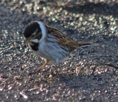 008 Male Reed Bunting_edited-2