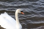 009 Swan with line caught in its mouth_edited-2
