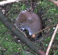P1010554 Vole exiting hole_edited-1