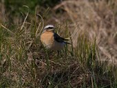 002 Wheatear_edited-2