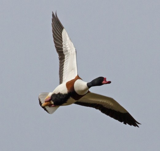 017 Male Shelduck_edited-2