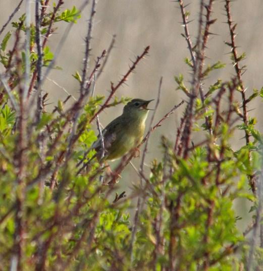 021 Grasshopper Warbler_edited-2