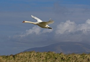 004 Swan with Blackcombe in background_edited-2