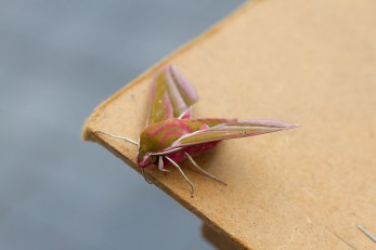 002 Elephant Hawk moth_edited-2