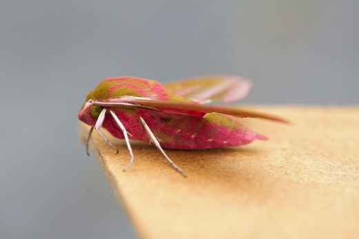 005 Elephant Hawk moth_edited-2