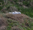 005 Nesting Swan long pond_edited-2
