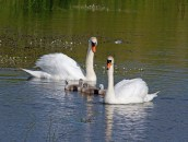 010 Five Cygnets and Parents_edited-2