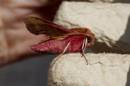 011 Small Elephant Hawkmoth_edited-2