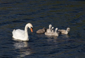 012 Swan and five cygnets_edited-2