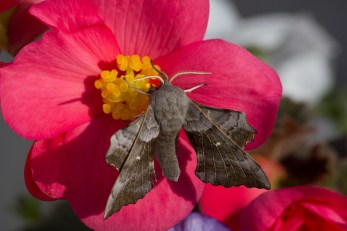 013 Poplar Hawkmoth on Bergonia 14th July 2015_edited-2