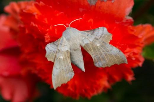 047Poplar Hwk-moth Buff type No 6 21st July 2015_edited-2