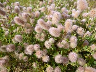 haresfoot clover