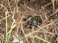 P1010660 Disturbed Bees Nest (1) ed