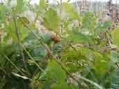 P1010682 Oak Gall (1)